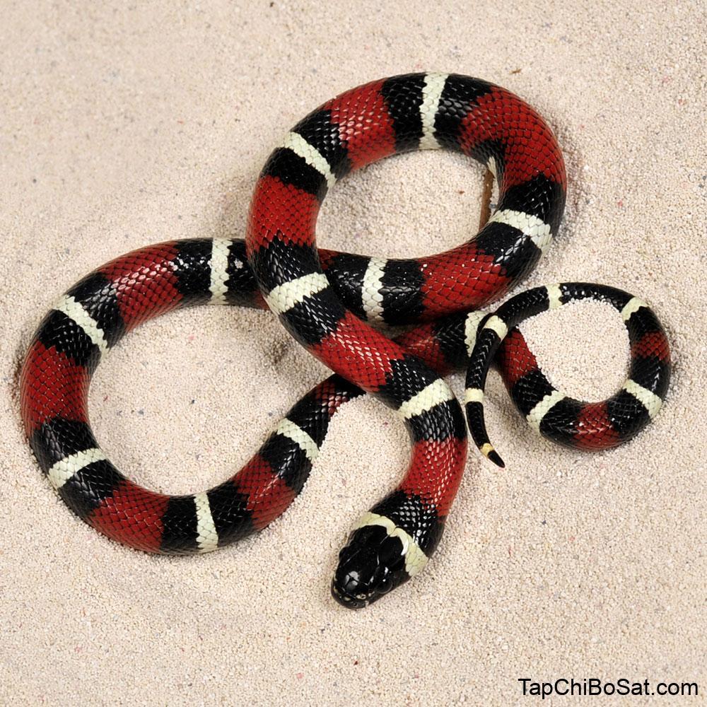 Photo of Rắn sữa Nelson – Nelson's Milk Snake
