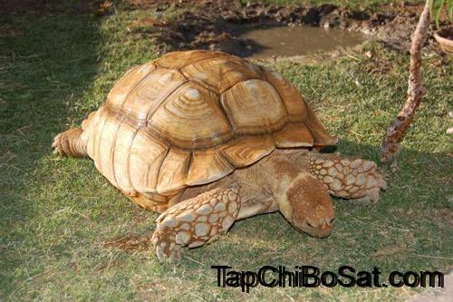 Photo of Nuôi Rùa Cựa Châu Phi – Những điều cần biết
