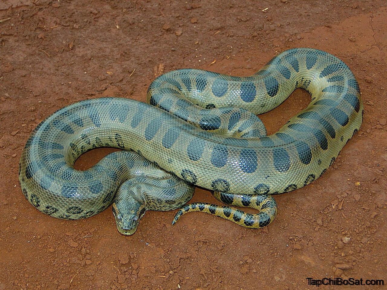 Photo of Trăn Nam Mỹ- Yellow Anaconda