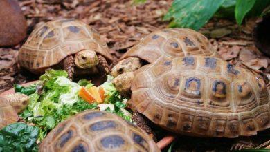 Photo of Rùa núi vàng ăn uống như thế nào?