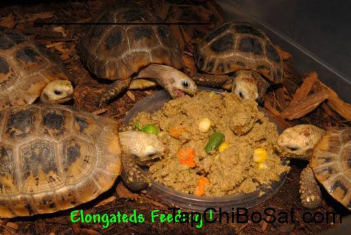 Rùa núi vàng ăn chủ yếu là thực vật