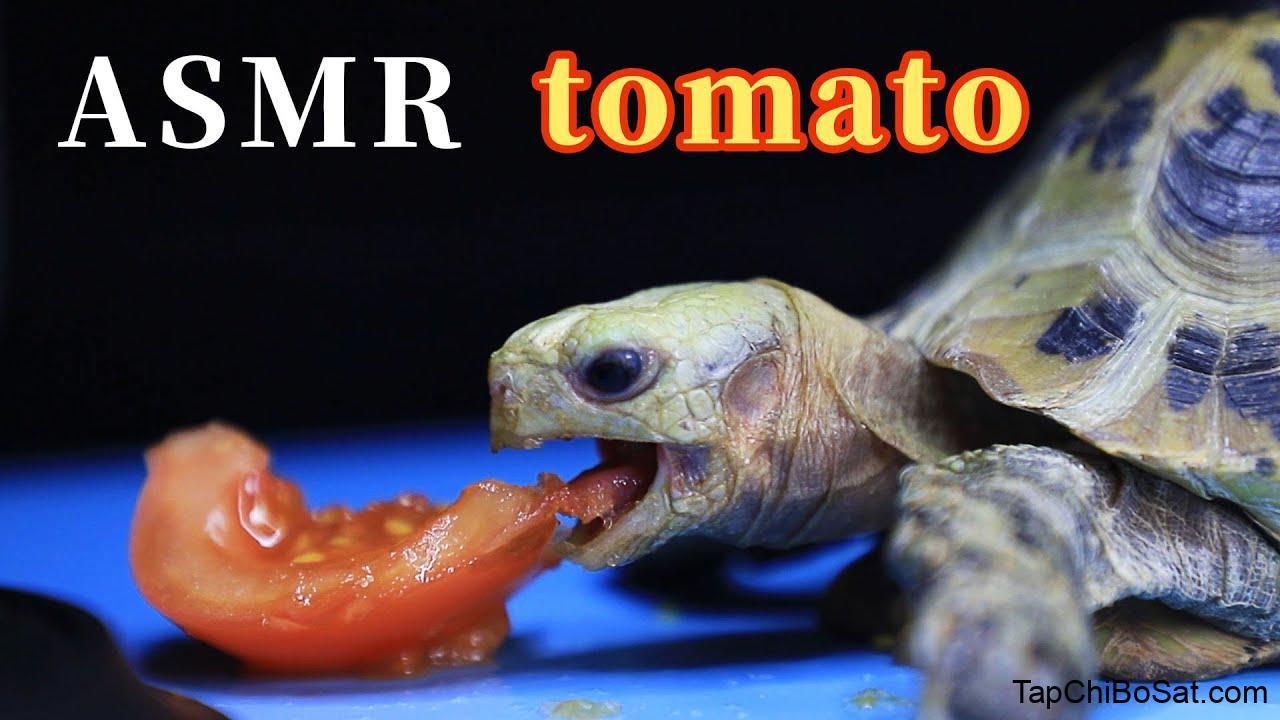 ASMR | Elongated Tortoise eating tomato - YouTube