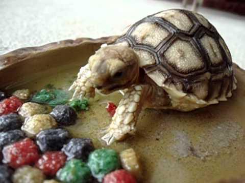 iggy trying his rep cal tortoise food - YouTube