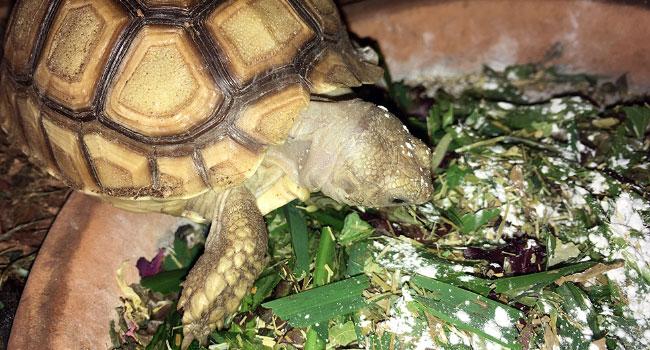 Best Calcium for Sulcata Tortoise | Pet Sulcata Tortoise