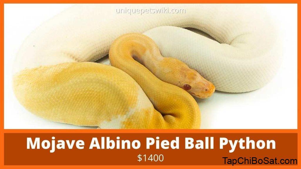Mojave Albino Pied