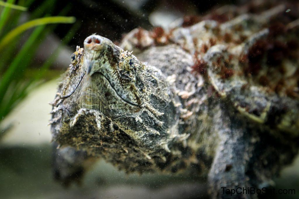 Rùa cá sấu sẽ có một số bệnh đối với loài nuôi lâu dưới nước