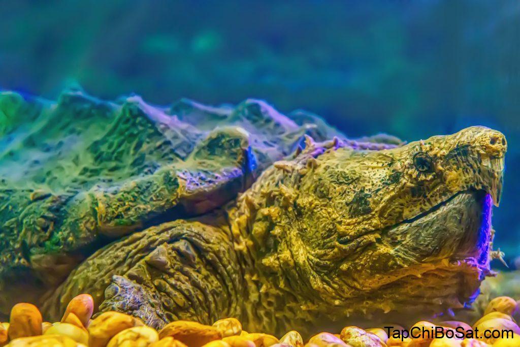 Sở hữu một em rùa cá sấu đẹp không hề rẻ