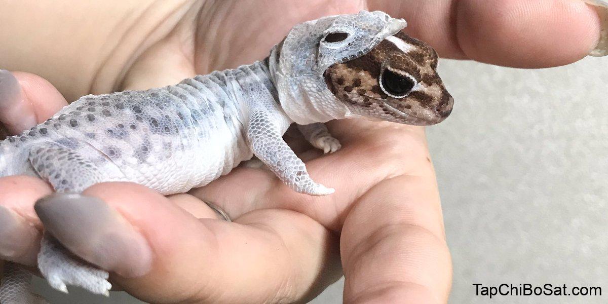 """🍉 eva 🍉 on Twitter: """"He's shedding but it looks like he's wearing a gecko  onesie… """""""