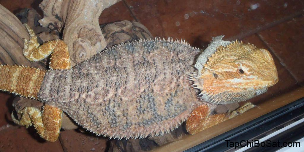 How often should Bearded dragons shed? | Bearded Dragon Care Info | Bearded  dragon care, Baby bearded dragon, Bearded dragon