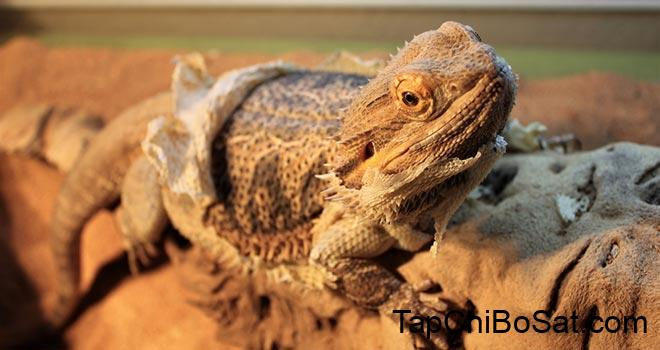 Bearded Dragon Shedding - Things You Should Know