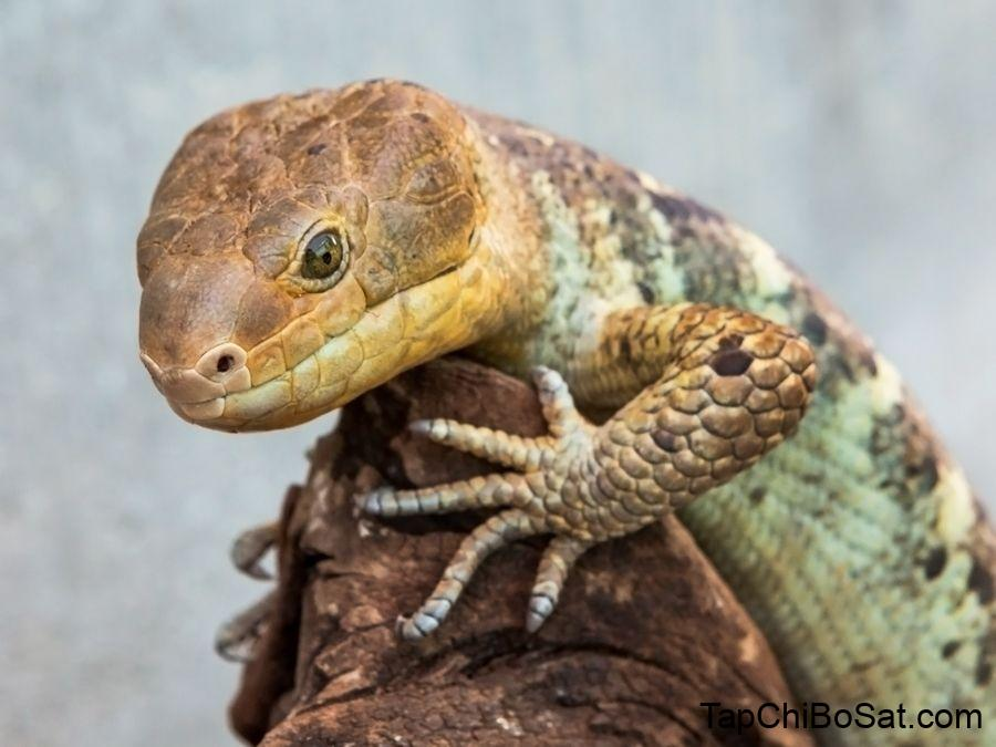 Aquarium of the Pacific | Online Learning Center | Prehensile-Tailed Skink