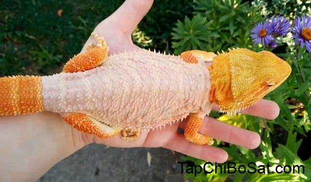 How Often Does a Bearded Dragon Shed? Help Your Beardies To Shed The Right  Way