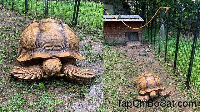 Chú rùa mất tích 74 ngày, được tìm thấy cách nhà... 200m-1