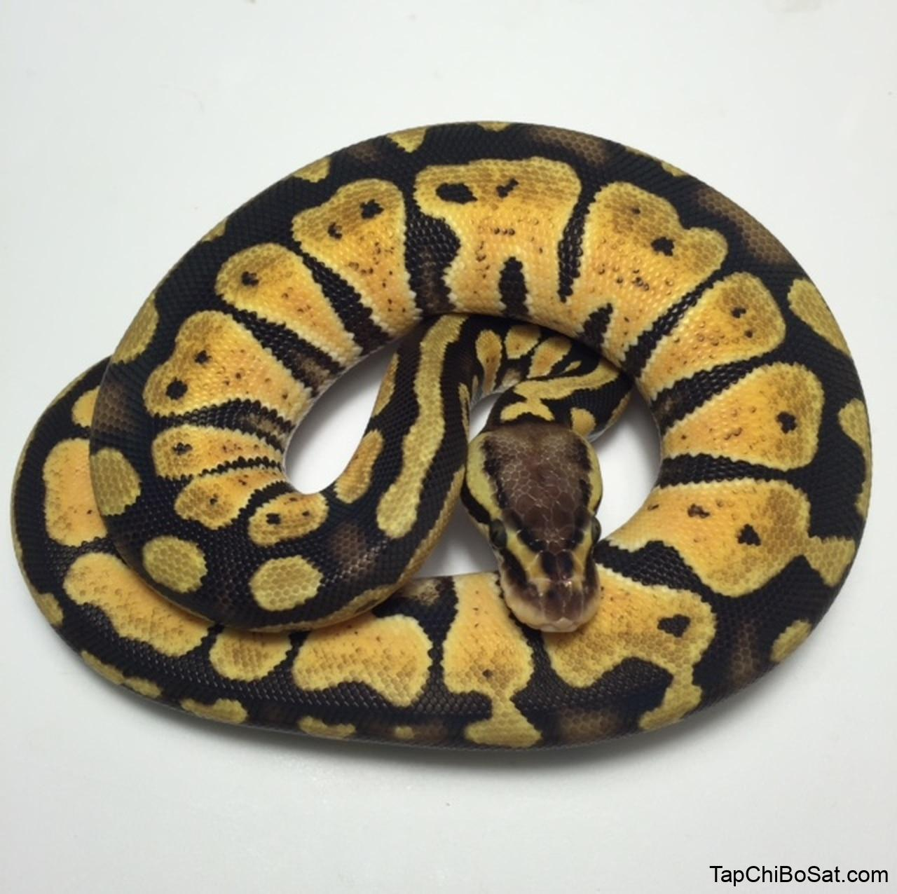 Pastel Ball Pythons for sale | Snakes at Sunset