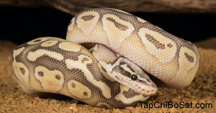 Top 50 Ball Python Morphs: The A-Z Morph Color List – Everything Reptiles