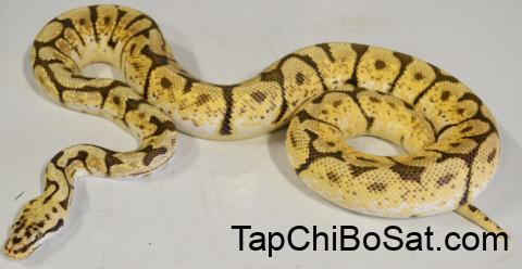 Adult Bumblebee Ball Pythons for sale