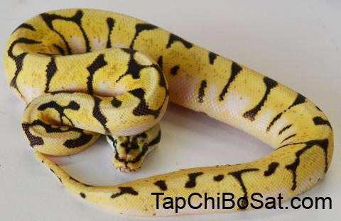 Baby Enchi Bumblebee Ball Pythons for sale