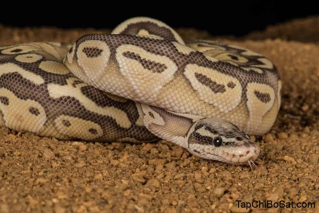 Pastel Ball Pythons: Everything You Need to Know – Embora Pets
