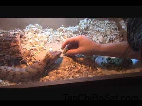 Blue Tongue Skink: Trust Exercise #1 Hand Feeding - YouTube