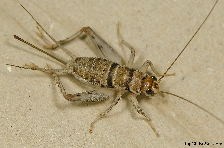 Tropical House-cricket Gryllodes sigillatus - Grasshoppers of Europe