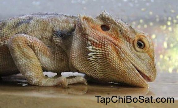 Bearded Dragon Throwing Up? 7 Reasons Why & How to Help!