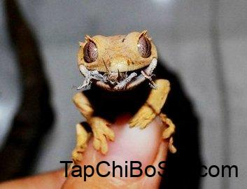 The Full Guide To Crested Gecko's Diet - Foods, Supplements - Care Guides  For Pet Lizards