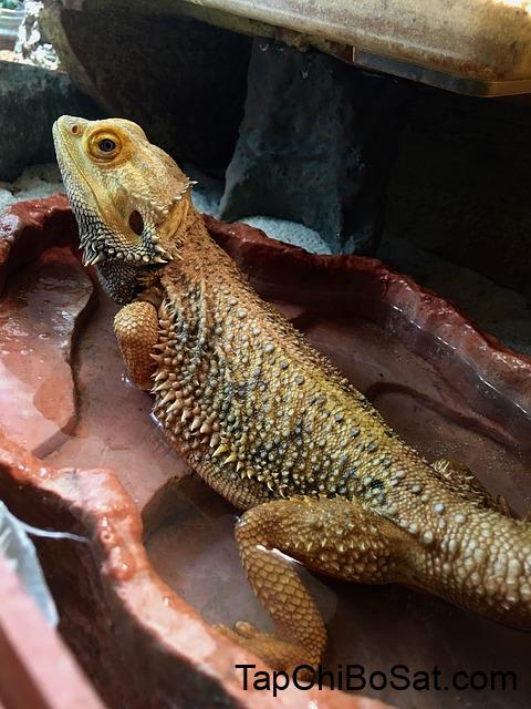 Can Bearded Dragons Drink Tap Water? | Bearded Dragon Haven