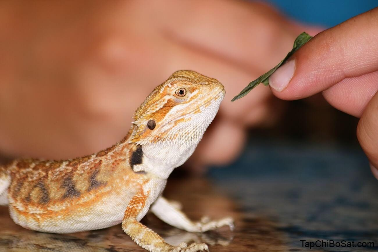Bearded Dragon Not Eating? Here's What You Need To Do...