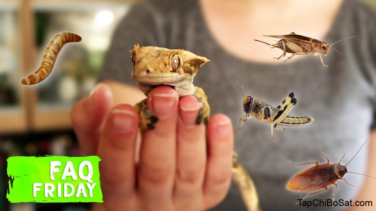 The TRUTH About Crested Gecko Diets... Do They NEED Insects? - YouTube