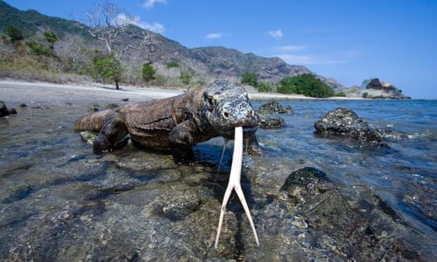 rồng trên đảo Komodo