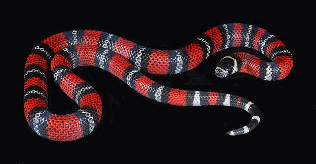 rắn sữa Andes