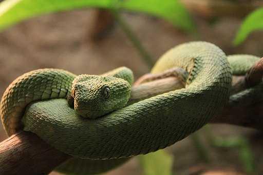 rắn vảy sừng