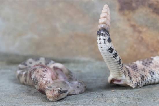 Rắn đuôi chuông không đẻ trứng mà đẻ con trực tiếp